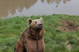 Alaskan Coastal Brown Bear