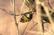 Leinwanddruck Bild - Wintergoldhähnchen an einem schönen Wintertag