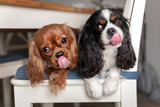 Funny licking dogs lying on the white chair - 246002194