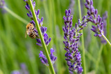 Honey bee (Apis mellifera) on a purple flower, close up. Pollination Lavender field.  - 246005595