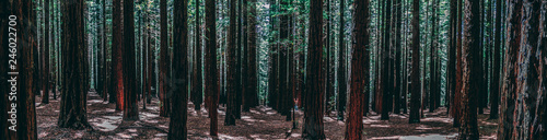 Rows of trees at the Redwood Forest Warburton in the Yarra Valley. Melbourne, Australia. - 246022700