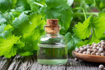 A bottle of coriander essential oil with coriander seeds and fresh cilantro leaves