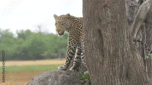 Leopard on the savanna slowly turning and looking in to the camera