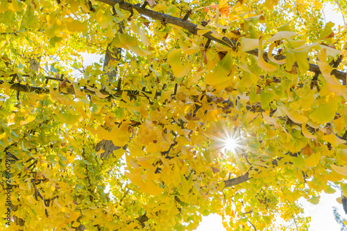 Yellow ginkgo in the autumn