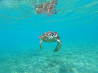 Tortue verte de Mayotte nage dans une eau translucide