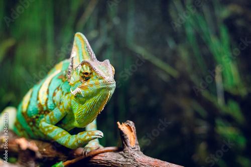 Green chameleon in the wild.