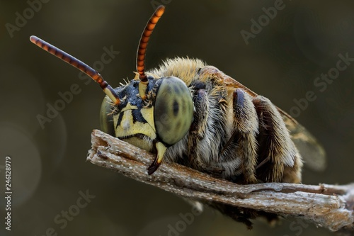 Foto Murales The extreme close up of bee macro photography