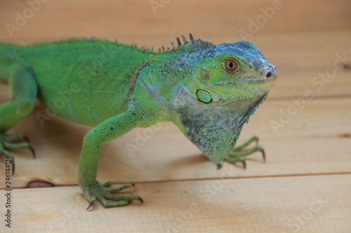 Chameleon - tropical green lizard. Exotic reptile
