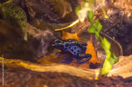 Blue Poison Dart Frog Dendrobates Tinctorius Azureus In Terrarium