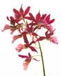 Dark Pink Orchids