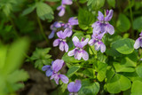 Spring background with a bush of violets