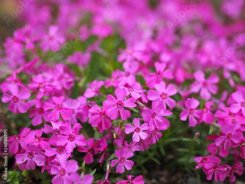 春の花 - 246186995