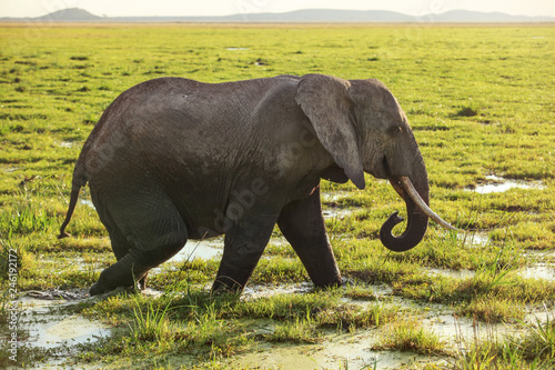 African bush elephant (Loxodonta africana) walking on savanna, grass covered in water. © Lubo