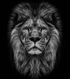 loin face black and white wallpaper