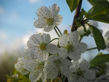 """Постер, картина, фотообои """"Beautiful flowers of sweet cherry """""""