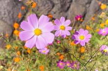 "Постер, картина, фотообои ""Cosmos flower fall Autumn"""