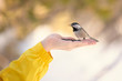Chickadee bird feeding from human hand in winter