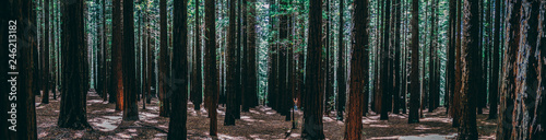 Rows of trees at the Redwood Forest Warburton in the Yarra Valley. Melbourne, Australia. - 246213182