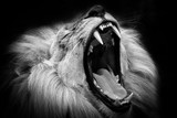 Black and white lion with open mouth