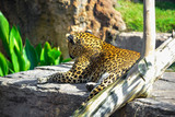 leopard watching from a rock - 246225379
