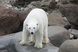 A polar bear stands on the rocks and looks into the camera