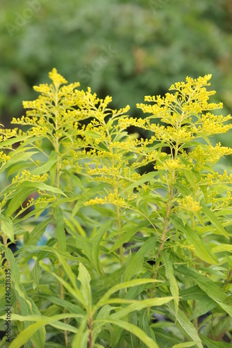 canvas print picture Solidago Golden muse