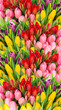 Quadro Fresh spring tulip flowers water drops