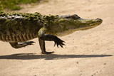 Upright, adult alligator walking across a dirt road in Florida. - 246259339