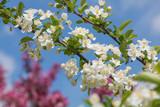 zweig mit Apfelblüten, blauer Himmel und rosa Kirschbaum defokussiert