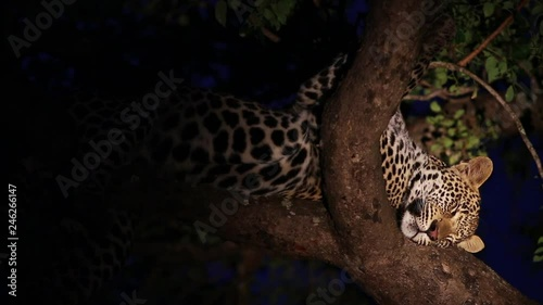 A Young Male Leopard Sleeping Comfortably in a Marula Tree at Night Illuminated by a Spotlight in Greater Kruger National Park, South Africa