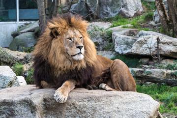 Löwe - Panthera leo
