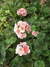 "Постер, картина, фотообои ""pink flowers in the garden"""