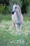 Horse soaring in meadows