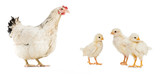 three chickens and hen isolated on white