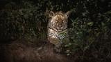 American jaguar female in the darkness of a brazilian jungle. Panthera onca. Wild brasil. Brasilian wildlife. Big cats, dark background, low key.