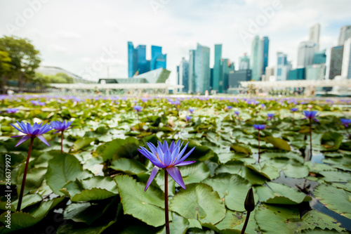 Lotus on the background of skyscrapers in Singapore
