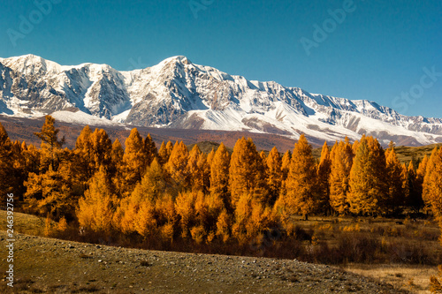 fototapeta na ścianę Golden autumn in mountains. Panoramic view of mountain snow ridge and yellow larches. Travel Altai.