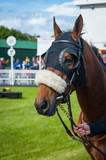 Portrait of a race horse walking through the parade ring - 246406537
