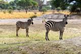 Zebra - Steppenzebra