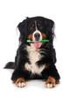 Leinwandbild Motiv Dog with toothbrush in the mouth
