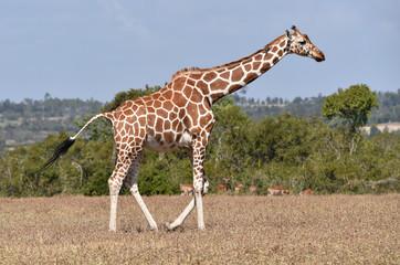 Giraffe in Kenia © dieter76
