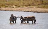Zebras trinken Wasser in Kenia