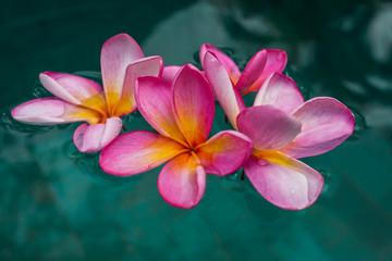 fleurs de frangipanier dans l'eau