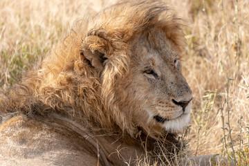 Lion head Safari