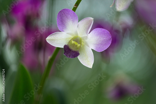 canvas print picture soft orchid in backlight
