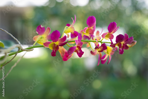 pink yellow orchid branch in nature - 246457511