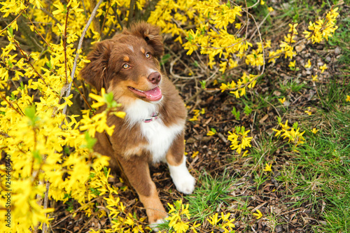 A cute small furry puppy of Australian shepherd is posing near the golden chain. It looks happy and satisfied, like it is smiling.