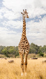Masai Giraffe in Kenya Africa - 246474710