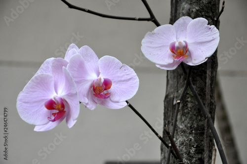 White and purple orchidae - 246474799