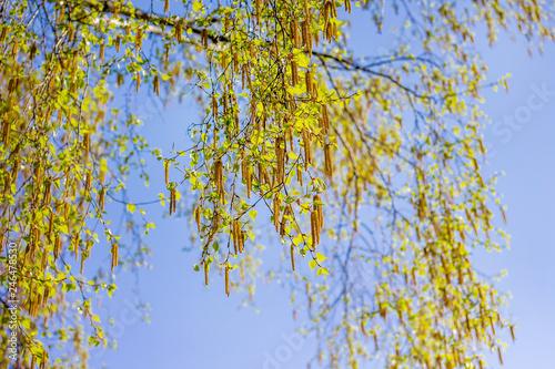 Birch branch during flowering on blue sky background_ - 246478530